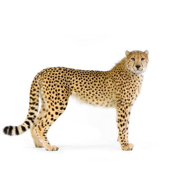 Gepardy - najszybsi biegacze na świecie nie żywią się korzonkami. Czy człowiek to też urodzony mięsożerca? Fot. istockphoto.com