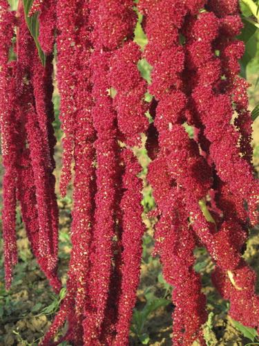 Amarantus czyli szarłat - roślina pełna węglowodanów i białka. Fot. istockphoto.com