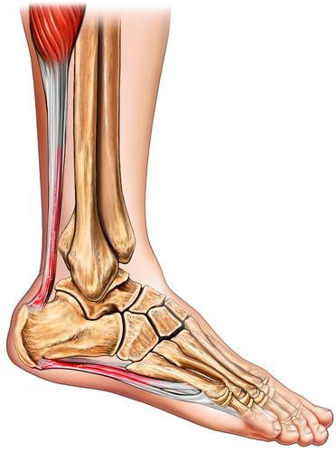Rozcięgno podeszwowe łączy się przez kość piętową ze ścięgnem Achillesa