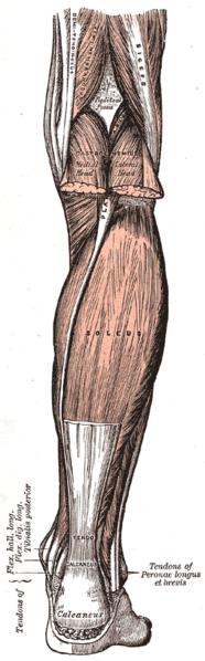 186px-Gray438 noga z tylu