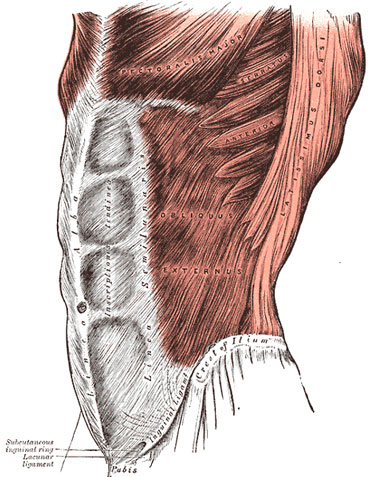 Brzuch Grays_Anatomy