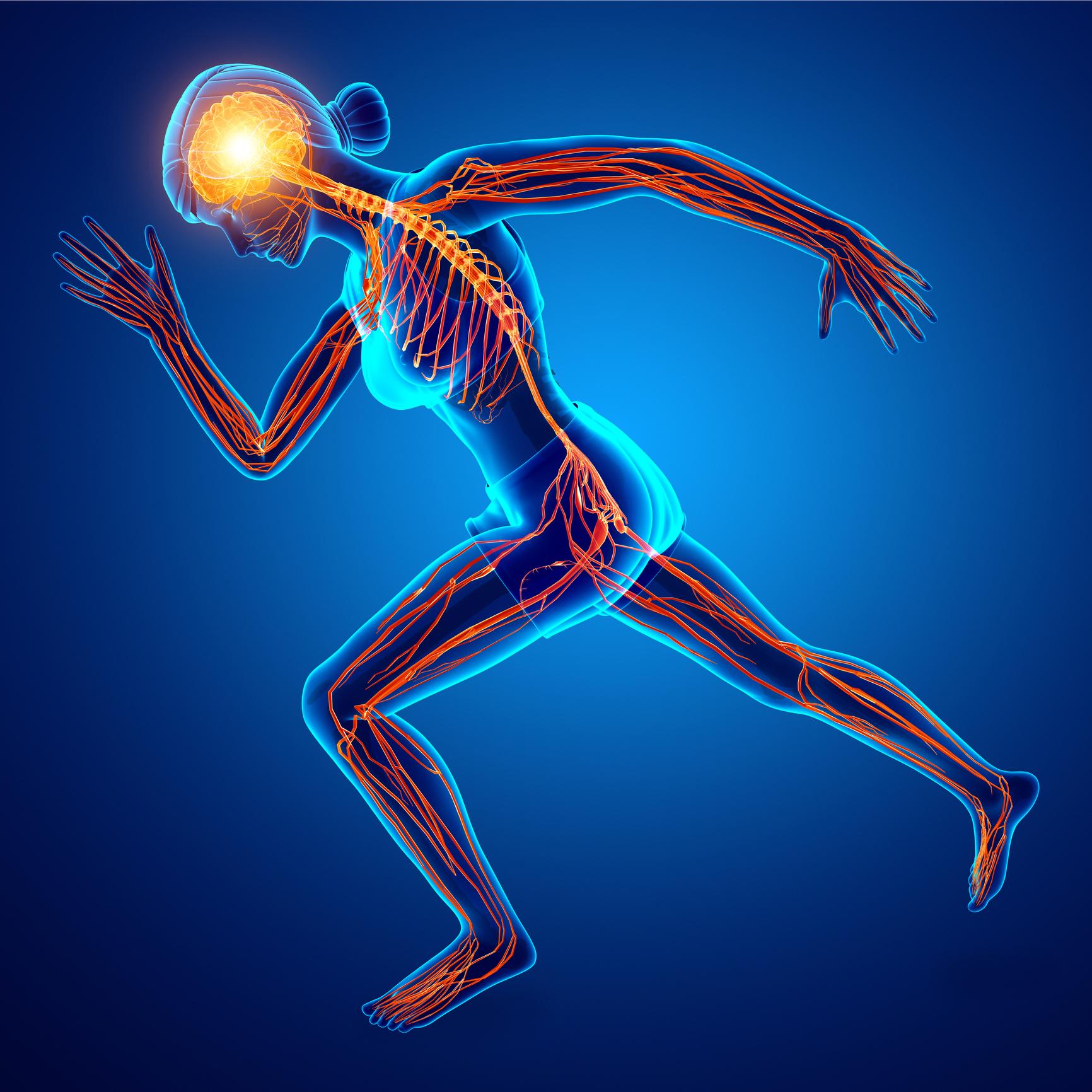 3d Illustration of Human Nervous System